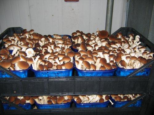 Как вырастить белые грибы в теплице